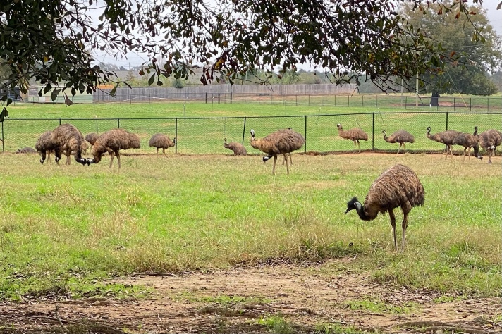 Rheas and Emus at the Animal Sanctuary