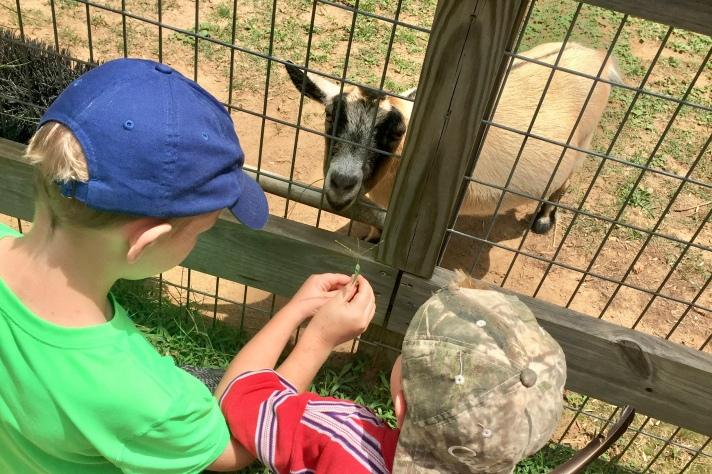 Feeding the Goats at Noah's Ark